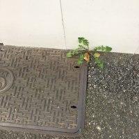 オサンポ walk - スキマ草 : 壁ぎわ2 at the edge of the wall2