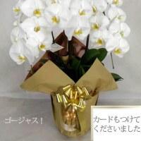 胡蝶蘭を買った