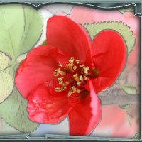 満開の木瓜の花