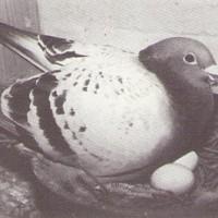 鳩と交配の妙