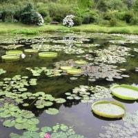 青い睡蓮を探しに~三原村・星ヶ丘公園