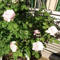 バラの植え替え