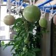 実生パッションフルーツ初収穫