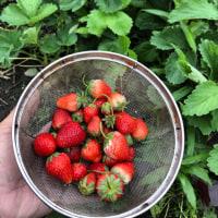 おばあちゃんが屋敷内の地植えの苺を収穫🍓