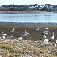 白鳥の群・小鷺・他の水鳥