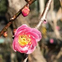 枝垂れ梅の一番花