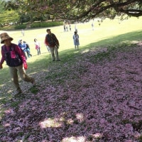 サクラの花びらの上を歩きながら進みました。