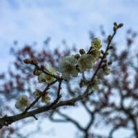 栗林公園の梅【香川県高松市】
