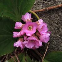 我が家の春告げ花