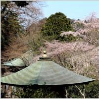 安国論寺のしだれ桜