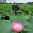 猛暑の中、上野・不忍池の蓮を撮影してきました。