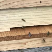日本ミツバチの飼育を再開出来ました。