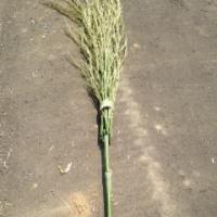 竹箒(たけぼうき)