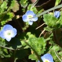 オオイヌノフグリの花が冬の陽を浴びて