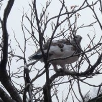 八方尾根扇雪渓の雷鳥