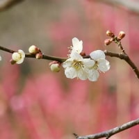 木下沢梅林の梅の花