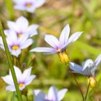 オオニワゼキショウの花がたくさん