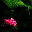 茶碗蓮 (花 4509)