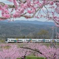 4月16日撮影 その6 満開の桃の花と part2