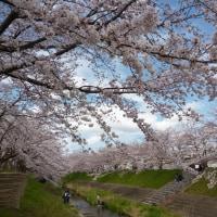 春は奈良。桜、桜