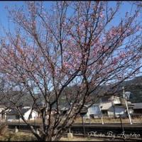 河津桜より早咲き日南寒咲1号