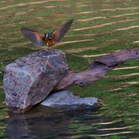 カワセミ:そよ風がミラーリングの川面を揺らすと翡翠が飛来ーⅡ