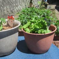 初夏の家庭菜園、鉢植えが気持ちいい