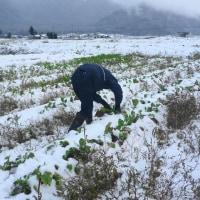雪畑 大根 白菜 旅立ちの朝 (菜人)
