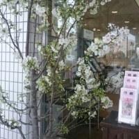 結桜、特別編 2017.3.27