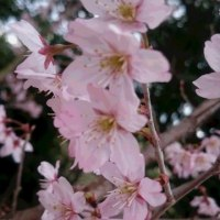 桜・・・咲く