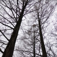 1029 「冬の装いの五位鷺」