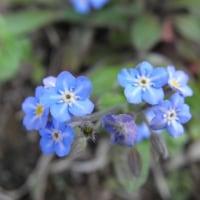 春のムラサキ科の花