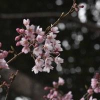 ● ?桜でしょうか・・・美しい。