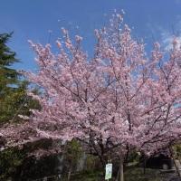満開、桜。