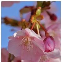河津桜 12