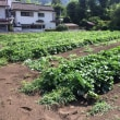 三井のサツマイモ畑