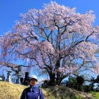 桜巡り…。