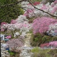 駒ヶ根市すみよしや花桃の里、見事でした
