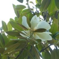 タイサンボクの花***夾竹桃
