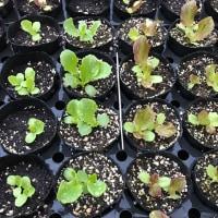 種まき1ヶ月後のリーフレタス