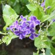 青のデュランタとランタナに黒アゲハ蝶