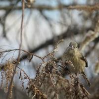 お正月の散歩道~野鳥編~