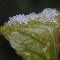 溶けかけた雪、そして木瓜の花