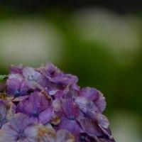 紫陽花雨情