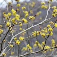 軽井沢のいろいろ 軽井沢の早春に咲く花・・