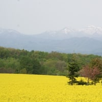 北海道・滝川市の菜の花畑が見頃となりました