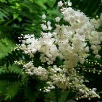 米粒の様な可愛いお花 にわななかまど