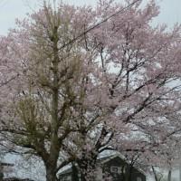 桜の季節になりました・・・20170411