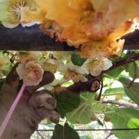 (上)キウイ「早生種」ゴールデンイエロ-の花が咲きました。(下)授粉作業を実施しています。