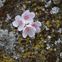 松本歯科大の桜・・・こんな咲ぐわい・・・